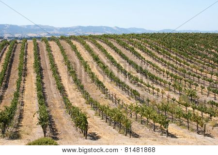 Rolling Hill Of Califonia Grapevines