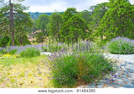 The Mountain Lavender