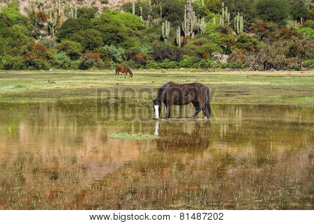 Horses In Marshes