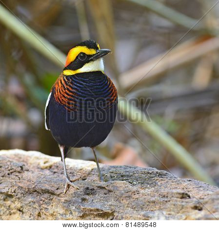 Malayan Banded Pitta Bird