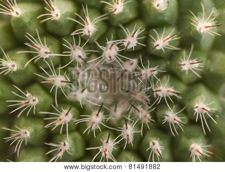 Center Of Cactus, Golden Ball Cactus