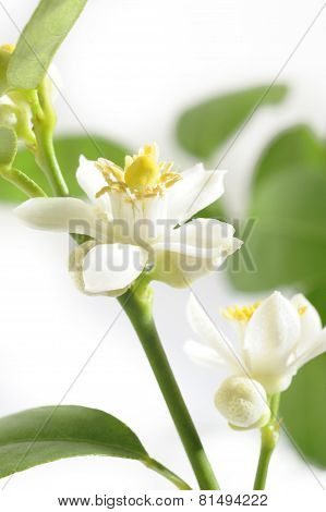 Lime Blossom On White Background
