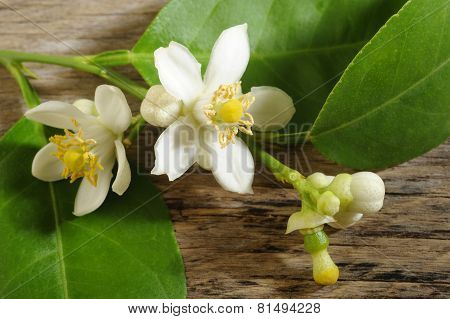 Lime Blossom On Wooden Background