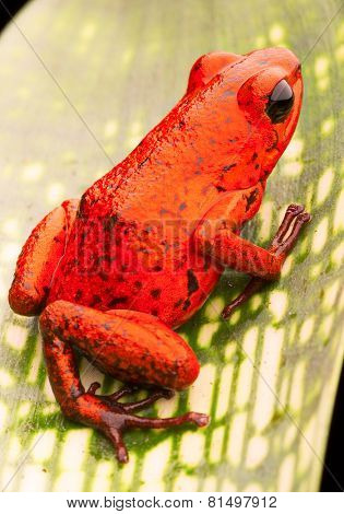 red poison dart frog, Oophaga pumilio from the tropical rain forest of Costa Rica. This beautiful amphibian is often kept as a pet animal in a terrarium or vivarium