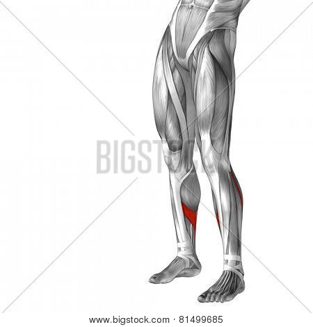 Concept or conceptual 3D soleus human lower leg anatomy or anatomical and muscle isolated on white background