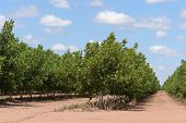 foto of row trees  - rows of young walnut trees on a plantation - JPG