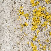 picture of lichenes  - Old concrete wall covered with lichen as a background composition - JPG
