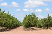 pic of walnut-tree  - a walnut tree plantation with cloudy sky - JPG