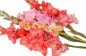 picture of gladiolus  - Bouquet bright gladiolus isolated on white background - JPG