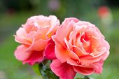 stock photo of troika  - Beautiful pink rose in the garden sort Troika