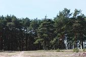 foto of coniferous forest  - Coniferous forest warm summer sunny clear day - JPG