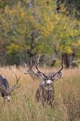 foto of mule  - A large mule deer buck standing in a meadow with aspen trees in the background in Rocky Mountain National Park near Estes Park Colorado - JPG