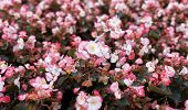 stock photo of begonias  - the Pink begonia flower field as background - JPG