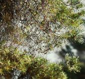 picture of pine-needle  - Pine tree needles closeup early spring sunny day