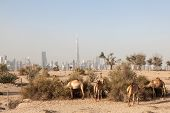 stock photo of dubai  - Camels in the desert of Dubai - JPG