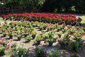 stock photo of poinsettias  - christmas rose or poinsettia tree in flower plot - JPG