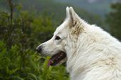 foto of swiss shepherd dog  - portrait of a beautiful white swiss shepherd - JPG