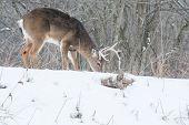 stock photo of deer rack  - Whitetail Deer Buck browsing for food in a woods in winter snow - JPG