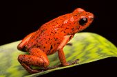 foto of poison dart frogs  - strawberry poison dart frog from the tropical rain forest of Panama and Costa Rica - JPG