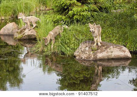 Three Wolf Pups Exploring a Lake