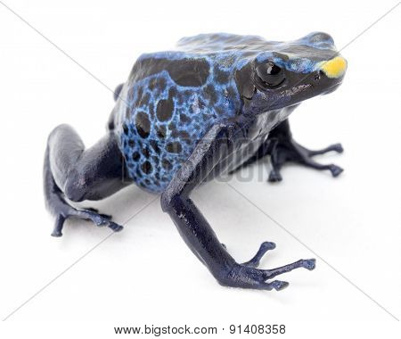 blue poison frog on white Dendrobates tinctorius a poisonous animal from the Amazon rainforest in Suriname. Macro of a small amphibian.