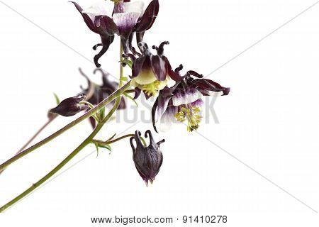 Aquilegia Vulgaris Magpie Columbine Flowers