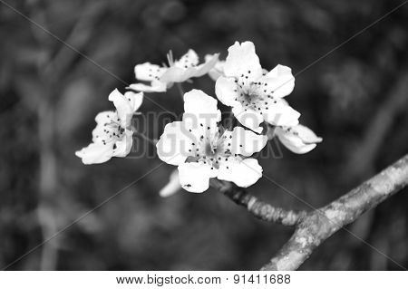 Black And White Wild Pear Blossoms