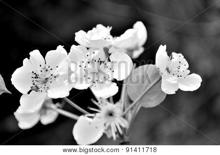 Black And White Artistic Floral Of Wild Pear Blossoms