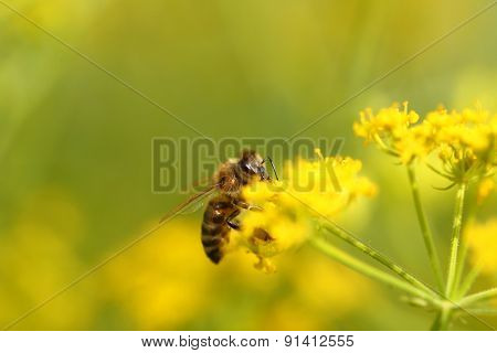 Honeybee harvesting pollen from blooming flowers