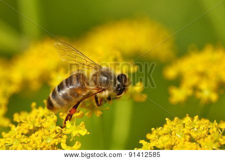 Honeybee harvesting pollen from blooming flowers, soft focus
