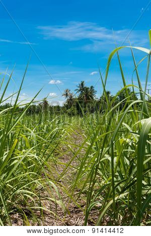 Entrance Way To Crop Field With Fresh Blue Sky