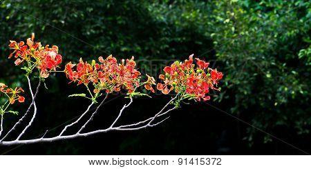 flower Delonix regia