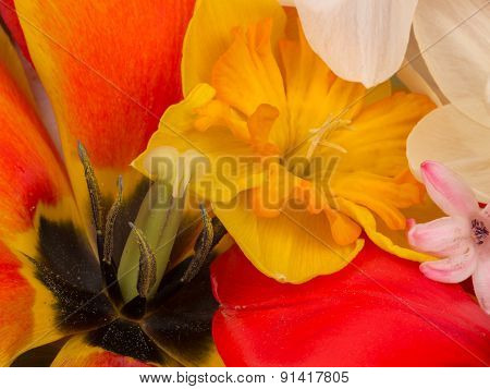 Red Tulips And Yellow Narcissus