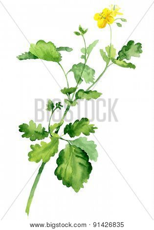 Watercolor bush of celandine. Vector illustration