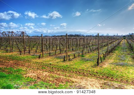 Vineyard Just Planted Under A Cloudy Sky