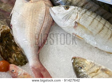 Striped Sea Bream