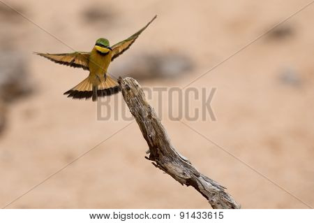 Littlie Bee-eater Flying To Perch To Sit And Rest