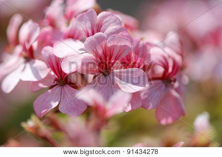 Pink bicolor geraniums.