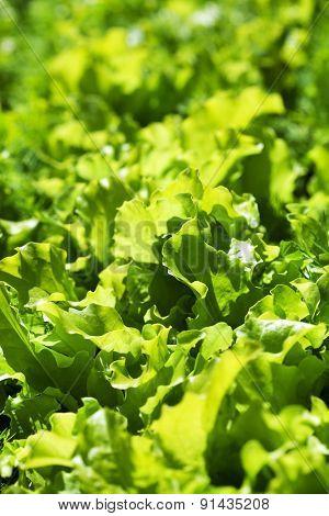 lettuce in the garden