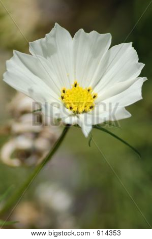 Picture or Photo of Vertical photo of a white wild flower in a garden