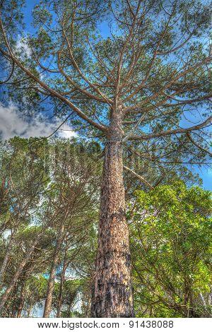 Pine Tree Under A Blue Sky In Mugoni Pinewood