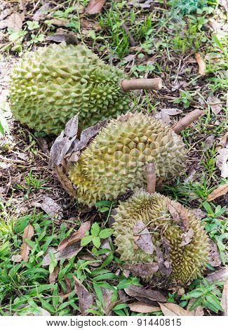Ripe Durian