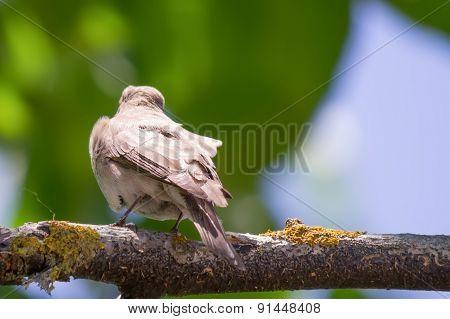 Sparrow On A Walnut Branch