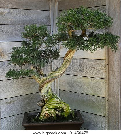 Bonsai In A Japanese Garden