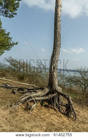 Ttree Roots Near The Kaunas Lagoon