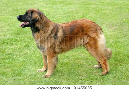 The Portrait Of Leonberger Dog In The Garden