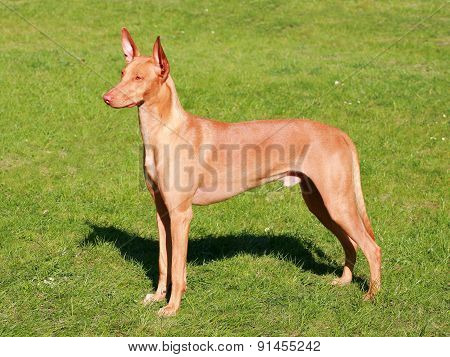 Typical  Pharaoh Hound  In The Garden