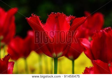 Red Terry Tulip