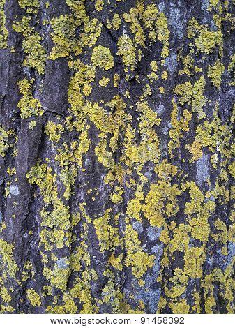 lichens on tree skin