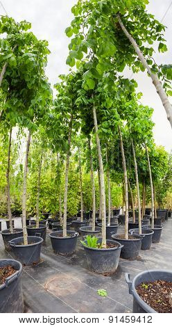 Nut Trees In Plastic Pots On Tree Nursery